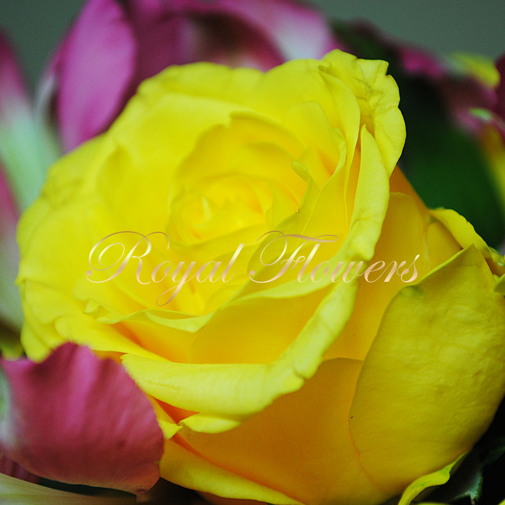Rožės su alstromerijomis