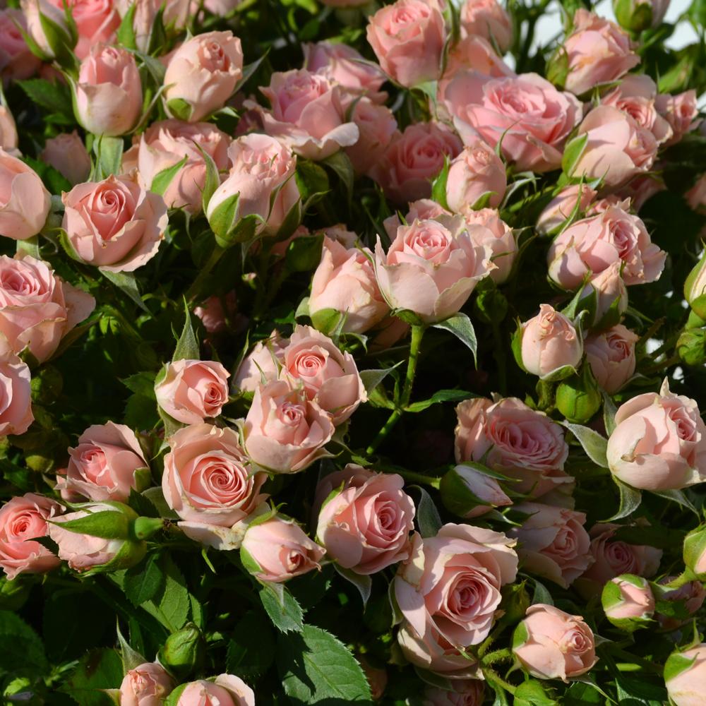Smulkiažiedė rožė